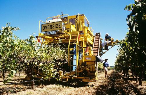 Mechanical grape picking in Padthaway vineyard, S. Australia