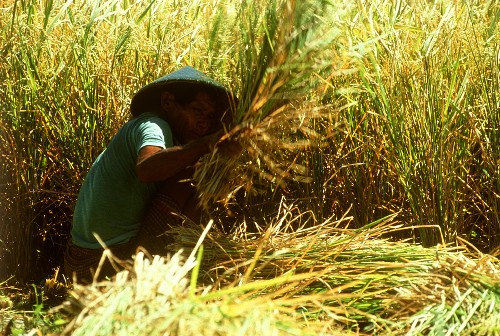 Asian field workers harvesting rice by hand