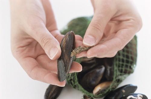 Preparing mussels in wine stock, step 1: debearding the mussels