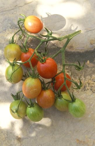 Kirschtomaten der Sorte Pink Cherry Tomato (bzw. Cerise Pink)