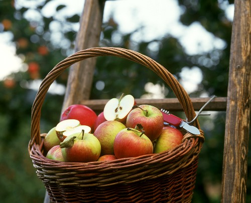 Freshly picked apples in basket on a garden ladder