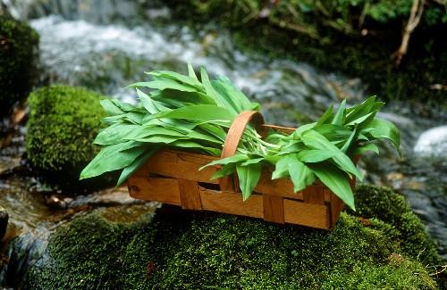 Ramsons (wild garlic) in chip basket by a stream