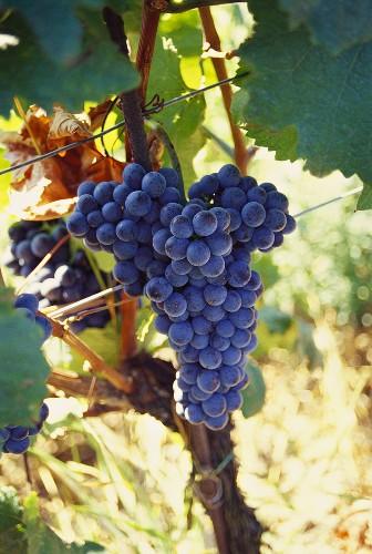 'Blauer Zweigelt' grapes on vine (Burgenland, Austria)