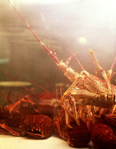 Living spiny lobsters and lobsters in a tank