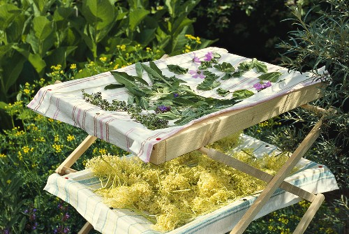Medicinal herbs and elderflowers laid out to dry