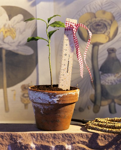Young plant in terracotta pot with ruler