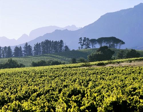 Vineyards in Franschhoek district, S. Africa