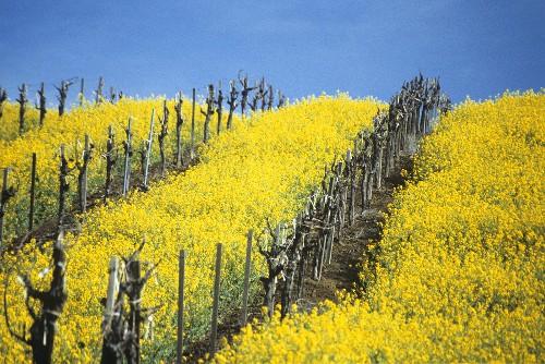 Flowering charlock in Carneros region, Napa Valley, Calif.