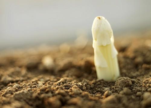 A white asparagus tip (close-up)