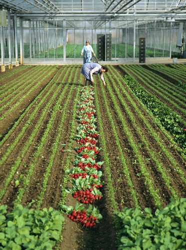Vegetable growing in greenhouse:female workers picking radishes