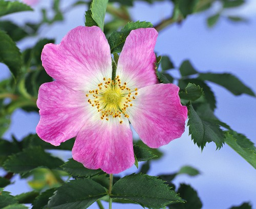 Wild rose (also known as Dog rose, Rosa canina)