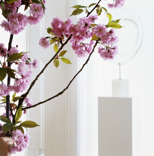 Branch of cherry blossom as floral decoration