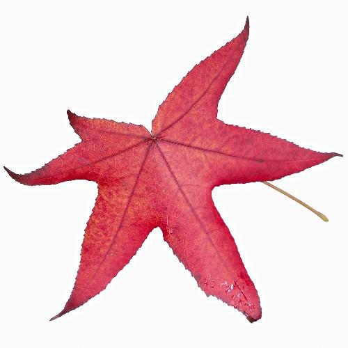 American sweetgum leaf (Liquidambar styraciflua)