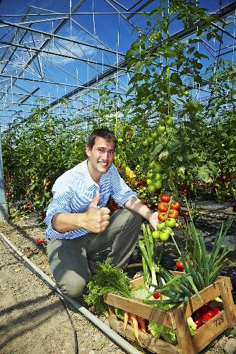 Landwirt im Gewächshaus erntet erfolgreich Tomaten