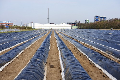 Asparagus field under plastic covers