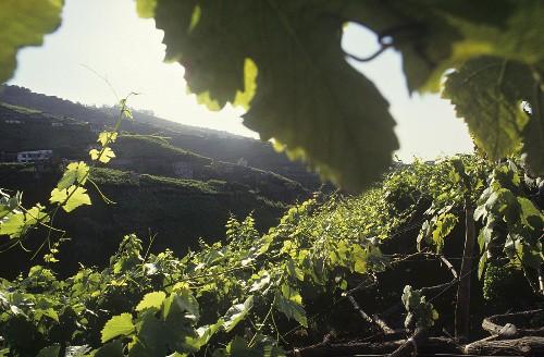 Weinbau bei Camara de Lobos auf Madeira, Portugal