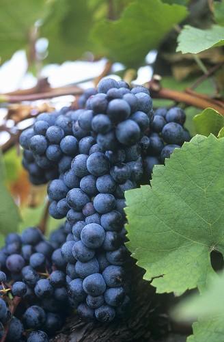 Zweigelt grapes on the vine