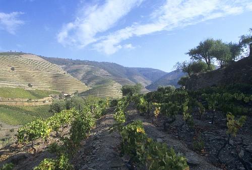 Vineyard of Quinta do Crasto Estate, Douro Valley, Portugal