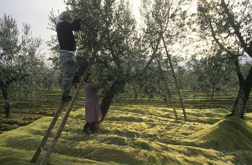 Olive harvest in Tuscany, Italy