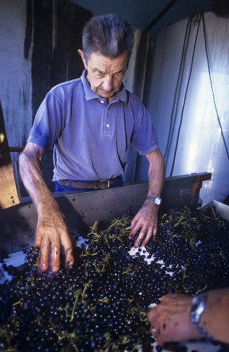 Kontrolle der Merlot-Trauben, Graves, Bordeaux, Frankreich