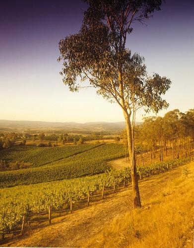 Coldstream Hills Vineyard, Yarra Valley, Victoria, Australia