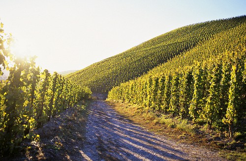 Riesling vines growing near Kröv, Mosel, Germany