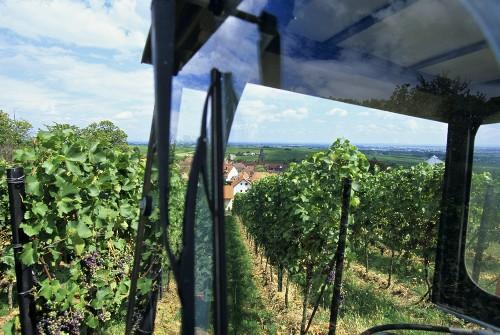 Work in vineyard, Frankweiler, Palatinate, Germany