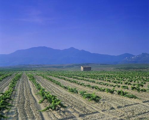 Vineyard around Olite,  Navarra,  Spain