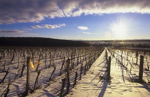 Weinberg im Winter, Raiding, Burgenland, Österreich