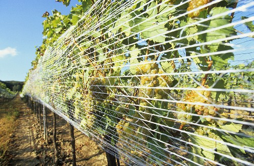 Growing grapes for Ausbruch wine, Burgenland, Austria