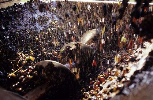 Pinot gris Trauben in Entrappungsmaschine, Neuenburg, Schweiz