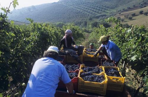 Picking Montepulciano grapes, Bruno Nicodemi, Abruzzo, Italy