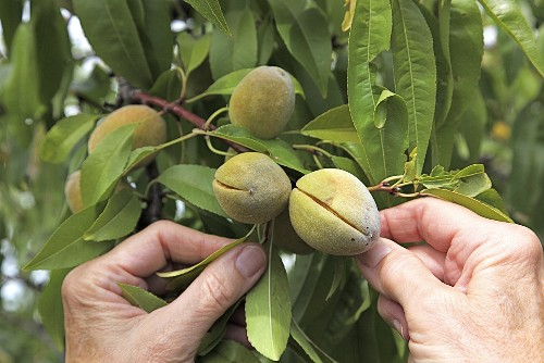 Almonds on the tree with woman's hands