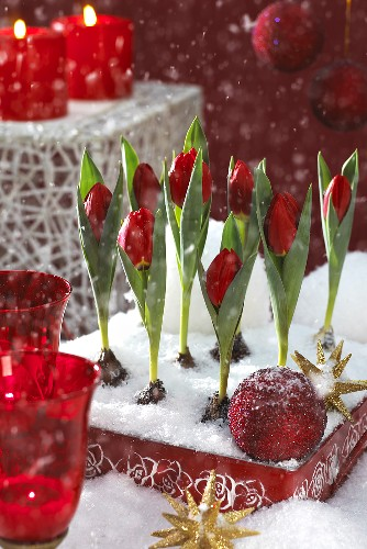 Red tulips, variety: Brilliant Star (Christmas decoration)