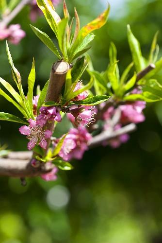 Peach blossom on branch