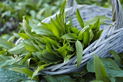 Ramsons (wild garlic) leaves in basket