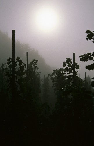Mist in a vineyard on the Mosel, Germany