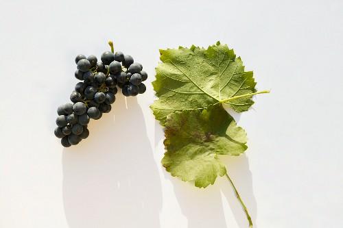 Rotweintraube der Sorte 'Lemberger'