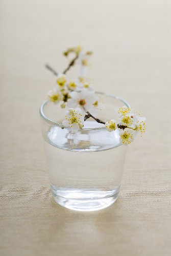 A spray of plum blossom on a glass of water