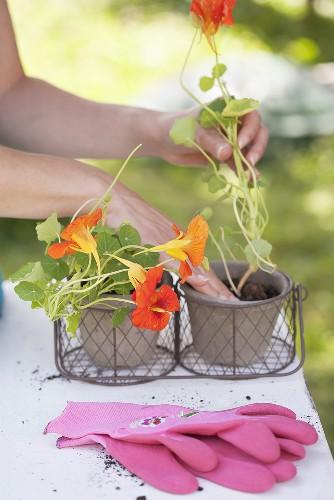 A woman planting nasturtiums in pots