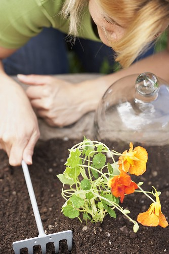 A woman planting nasturtiums in a flower bed