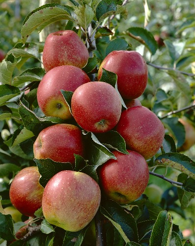 Apples, variety 'Jonagored', on the tree