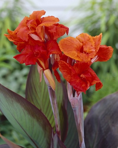 Blumenrohr (lat. Canna Red King Humbert)