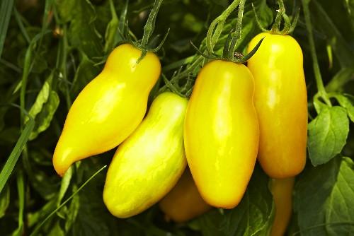'Banana Legs' organic tomatoes