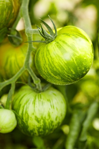 'Green Zebra' organic tomatoes