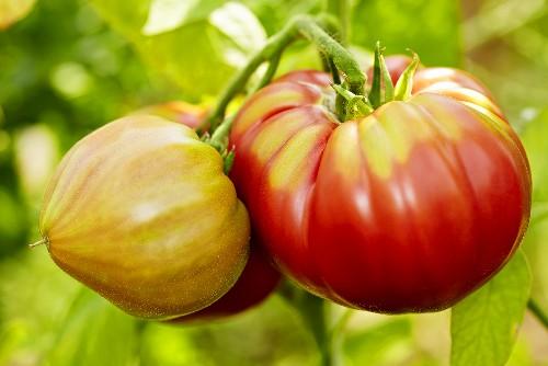 'Olena Ukrainian' organic tomatoes