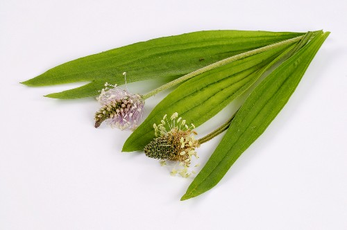 Ribwort plantain, leaves and flowers
