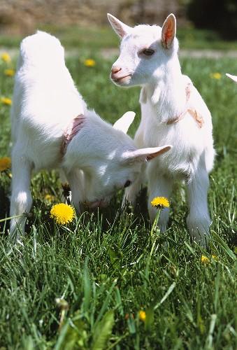 Kids in a pasture