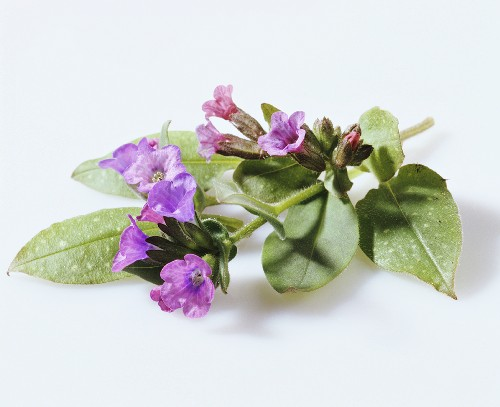 Lungwort with flowers