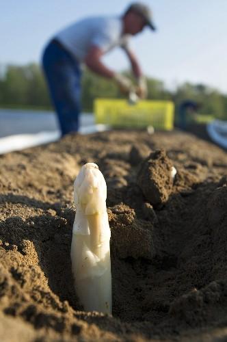 Asparagus harvest: white asparagus poking out of the soil